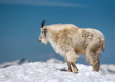 Female Wild Goat on Mt. Evans mountainous peak.