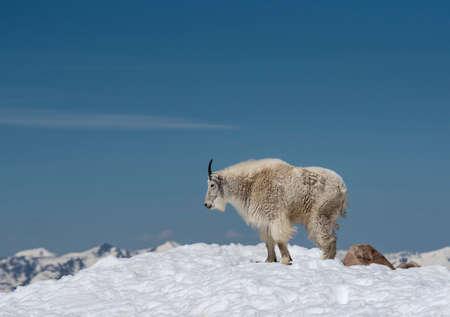 Female Wild Goat on Mt. Evans mountainous peak. Reklamní fotografie - 167195473