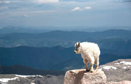 Wild Goats bring their babies down from the mountain top on Mt. Evans.