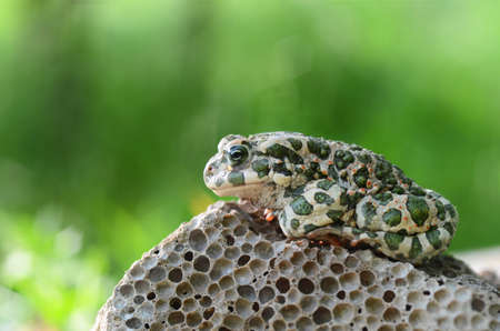 bufo bufo: Spotted an earthen toad sitting on a stone, close-up. Bufo bufo. Green toad (Bufo viridis) Photo Macro