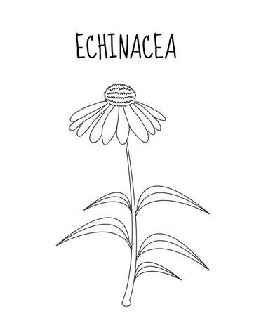 immunity: Echinacea flower sketch hand drawing. Medicinal plant Echinacea. Vector illustration Illustration