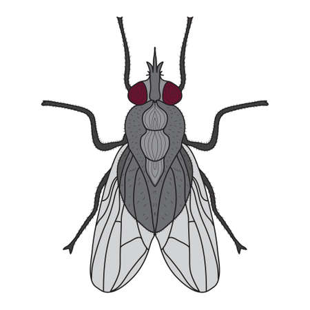 musca: Fly insect. Fly isolated on white background. Vector illustration Illustration