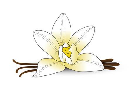 vainilla flor: flor de la vainilla, vainilla especias. estilo de dibujo a mano. ilustración vectorial
