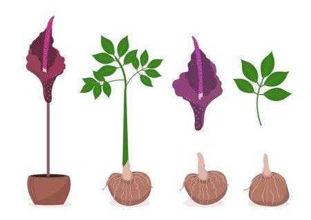 Amorphophallus konjac plant set. Konjak Japanese traditional cuisine ingredients for shirataki noodles, gum, glucomannan.Vector illustration.