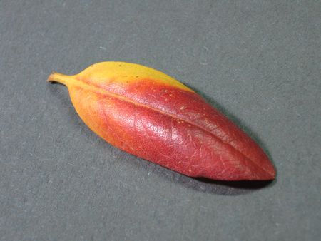 Rhododendron leaf in the Fall Stock Photo - 5650009