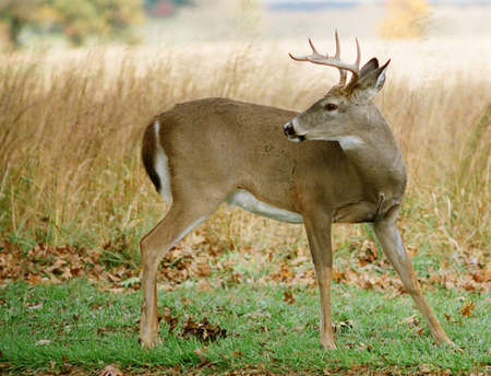 eight point buck looking back in field