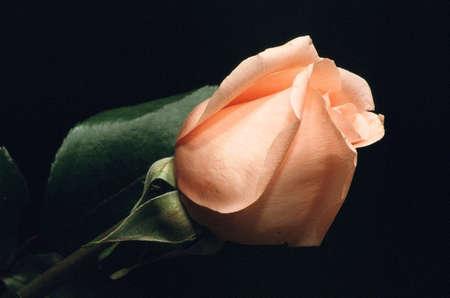 closed peach rose against black background Stock Photo
