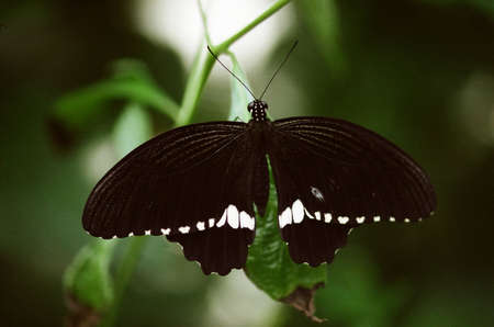 black butterfly perched  on leaf with wings spread