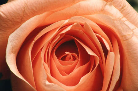 peach colored rose with open pedals