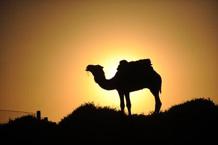 camel at sundown