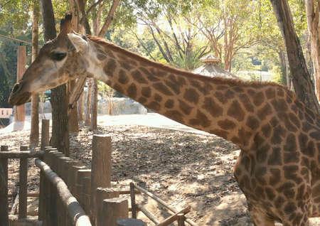 mammalian: Giraffe In The Zoo