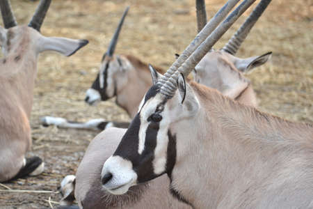 oryx: Oryx Herd