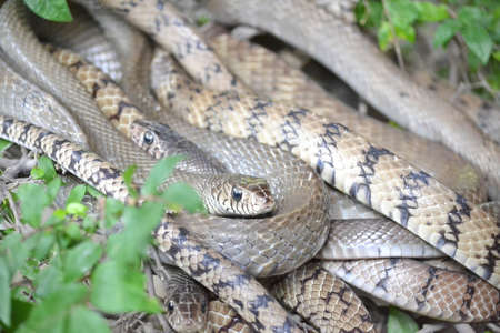 coldblooded: Indochinese  Banded Rat Snake