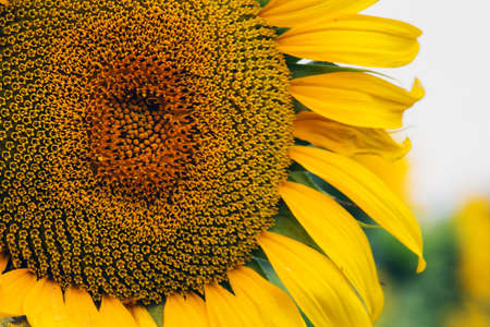 bright sunflower in a field close-up against a blurry sky
