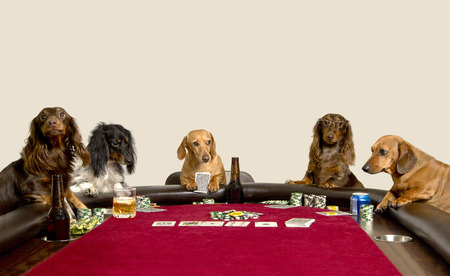 poker table: Five Mini Dachshunds playing a game of poker and having  a few drinks Stock Photo