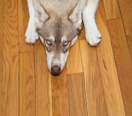 lying down on floor: Blue-eyed siberian husky looking up from the floor
