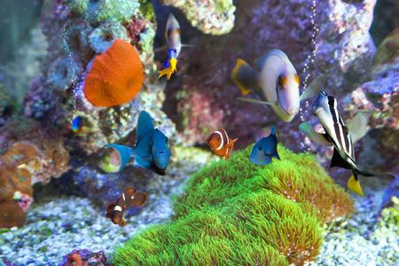 sailfin: Multiple Fish at home aquarium