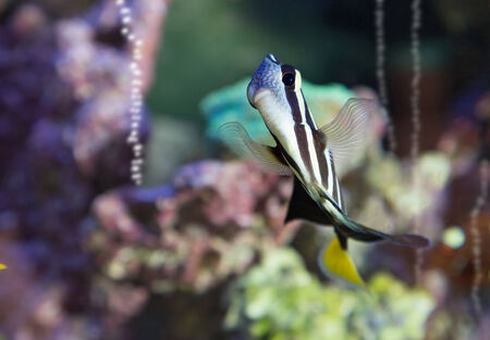 salt water fish: Sailfin Tang