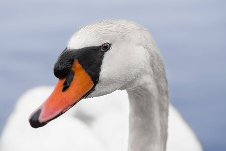 A lonely swan looks directly at the camera with a  wet face