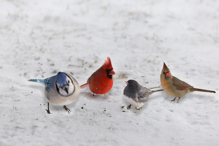 bluejay: Group of Garden Variety Birds feed on the snowy ground Stock Photo