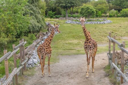 A pair of giraffes looks at the camera for a picture Фото со стока