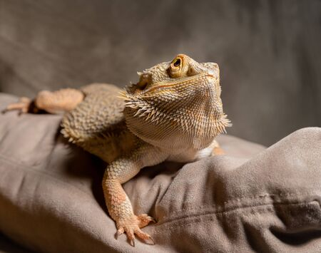 bearded dragon: Bearded Dragon Looks at Camera for a portrait