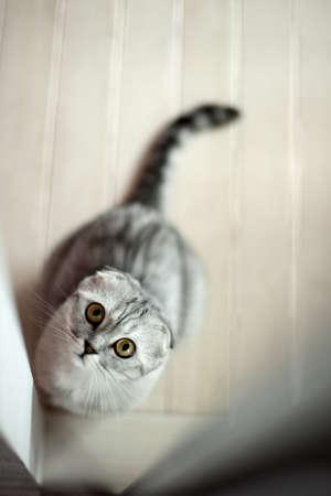 gray cat: Gray cat looking through a doorway up