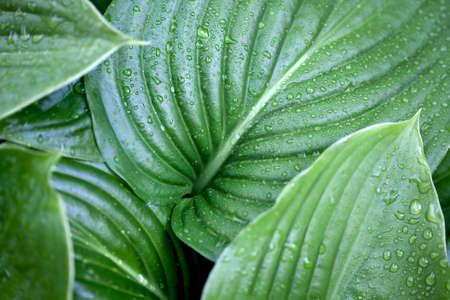 randomness: Large green leaves of plants with dew
