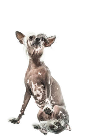 Portrait of chinese crested dog who sits in the studio on the white background. Photographed from below. Vertical. Stock Photo