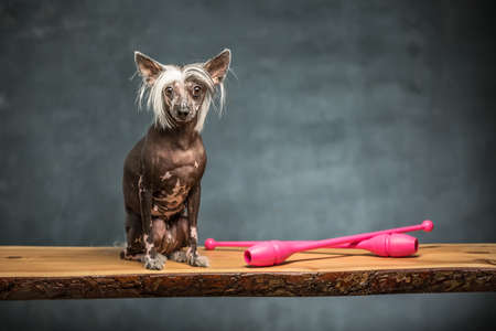 Hairless chinese crested dog sits on the chipboard in the studio on the textured background. Near dog there are two pink sticks. Horizontal.
