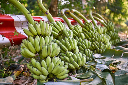 Felled banana trees with many bunches of green fruit lying outdoors Imagens