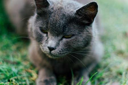 beautiful gray adult cat