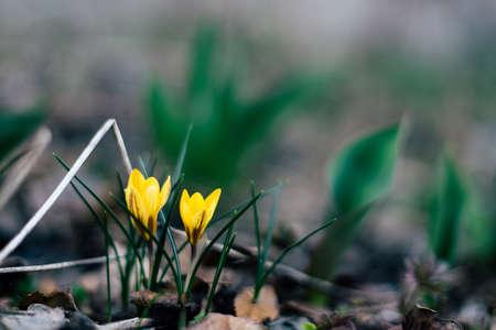 beautiful spring flowers yellow 版權商用圖片