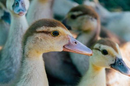 little ducklings in the village on the street walking
