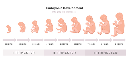 Embryonic development month by month cycle from 1 to 9 month to birth with embryo icons on trimesters medical infographic elements isolated on white background, vector flat illustration set.