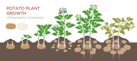Proceso de crecimiento de la planta de patatas desde la semilla hasta las verduras maduras en plantas aisladas sobre fondo blanco. Etapas de crecimiento de la papa, proceso de siembra, elementos infográficos del ciclo de vida de la planta en diseño plano