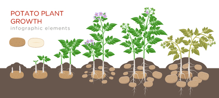 Potatoes plant growing process from seed to ripe vegetables on plants isolated on white background. Potato growth stages, planting process, plant life cycle infographic elements in flat design