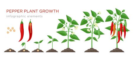 Etapas de crecimiento de la planta de ají elementos infográficos en diseño plano. Proceso de siembra de ají a partir de semillas germinadas a vegetales maduros, ciclo de vida vegetal aislado sobre fondo blanco, ilustración vectorial.