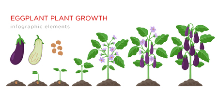 Eggplant growing process from seed to ripe vegetables on plants isolated on white background. Eggplant growth stages, plant life cycle infographic elements in flat design Illustration