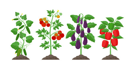 Planting and cultivation concept illustration in flat design. Cucumber, potato, eggplant, pepper plants with ripe fruits isolated on white background. Farming organic vegetables infographic elements 일러스트