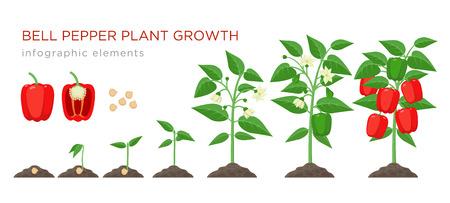 Etapas de crecimiento de plantas de pimiento dulce elementos infográficos en diseño plano. Proceso de siembra de pimiento a partir de semillas, brote a vegetales maduros, ciclo de vida vegetal aislado ilustración sobre fondo blanco.