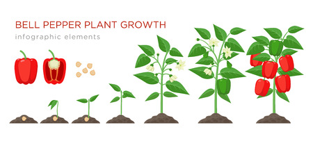 Sweet pepper plant growth stages infographic elements in flat design. Planting process of bell pepper from seeds, sprout to ripe vegetable, plant life cycle isolated illustration on white background. Vettoriali
