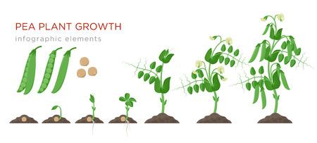 Erbsenpflanzenwachstum inszeniert Infografikelemente im flachen Design Pflanzprozess von Erbsen von Samenkeimen bis zu reifem Gemüse, Pflanzenlebenszyklus isoliert auf weißem Hintergrund, Vektorgrafiken