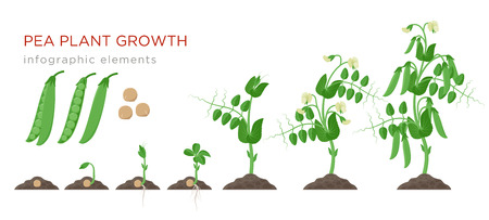 Pea plant growth stages infographic elements in flat design. Planting process of peas from seeds sprout to ripe vegetable, plant life cycle isolated on white background, vector stock illustration