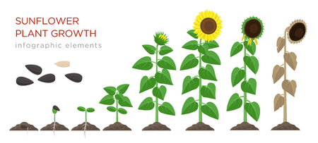 Sunflower growing process vector illustration flat design. Planting process of sunflowers. Growth stages from seed to flowering and fruit-bearing plant with yellow flowers isolated on white background.