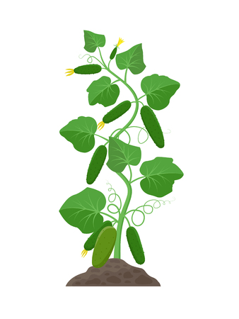 Cucumber plant with ripe cucumbers growing in the ground vector illustration isolated on white background 일러스트