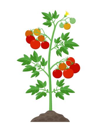 Planta de tomate con tomates maduros frutas y flores que crecen en la ilustración de vector de tierra aislada sobre fondo blanco