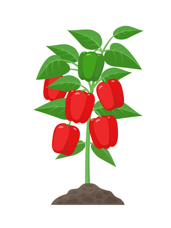 Bell pepper plant with ripe fruits growing in the ground vector illustration isolated on white background. Red juicy sweet peppers in the plant Illustration