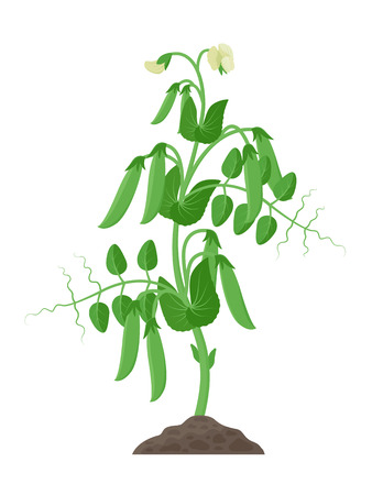 Pea plant with ripe pea pods and flowers growing in the ground vector illustration isolated on white background