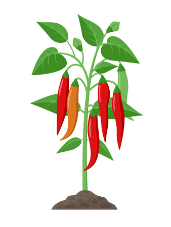 Chili pepper plant with ripe fruits growing in the ground vector illustration isolated on white background Illustration